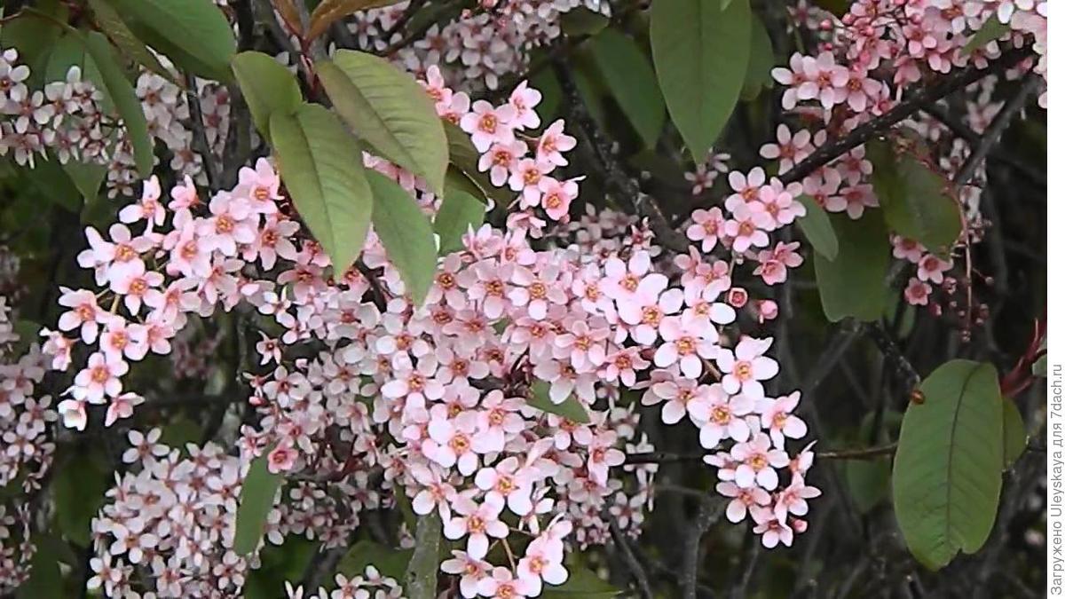 Prunus padus Colorata_2.jpg