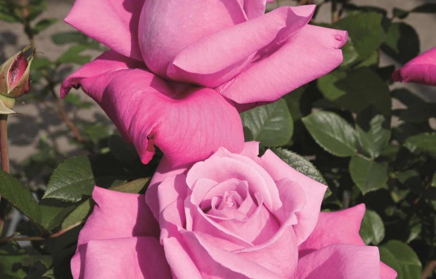 Rosa Blue Parfum1.jpg