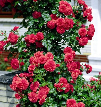 Rosa Rosarium Uetersen2.jpg