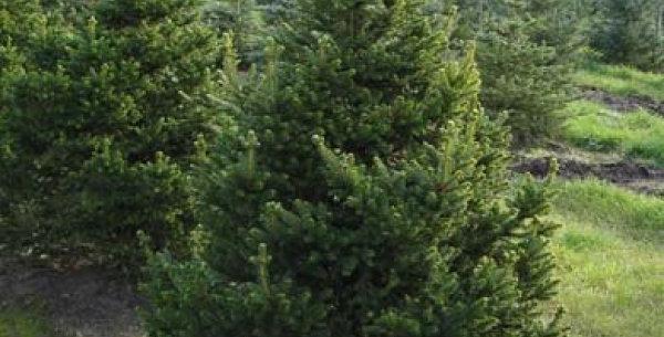 """Ель обыкновенная """"Will's Zwerg"""" Picea abies 'Will's Zwerg'"""