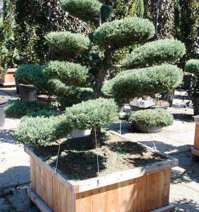 Juniperus virg hetzii bons_1.jpg