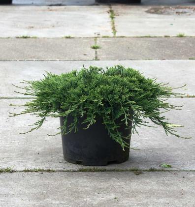 Juniperus hor Wiltonii_1.jpg