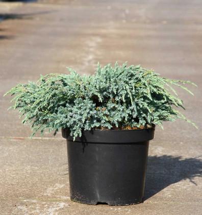 Juniperus squam Blue Carpet_1.jpg