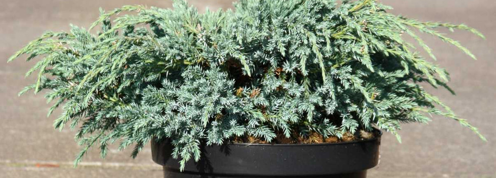 Juniperus squam Blue Carpet_1.jpg