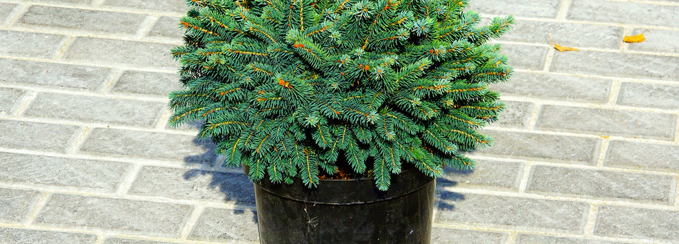 Picea glauca Echiniformis_1.JPG