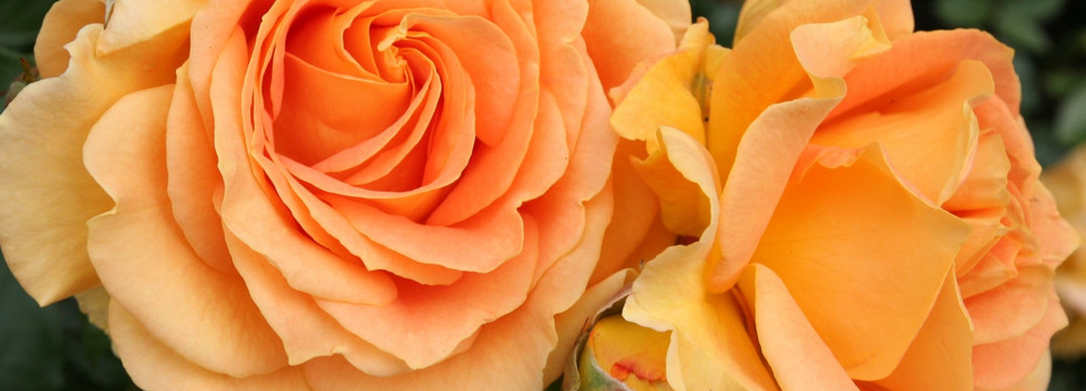 Rosa Goldelse1.jpg