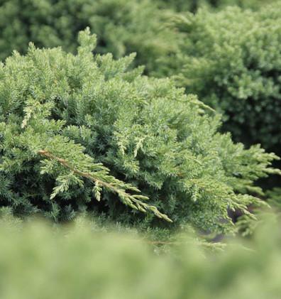 Juniperus procumbens Nana_2.jpg