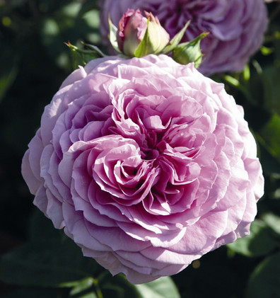 Rosa Lavender Ice2.jpg
