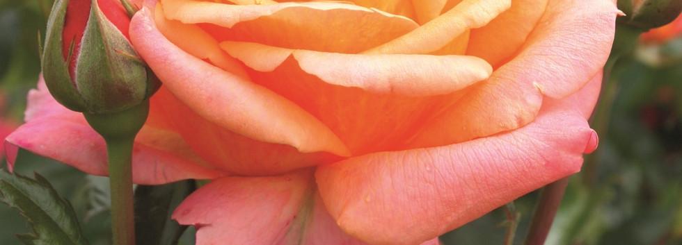 Rosa Cherry Brandy 85_3.jpg