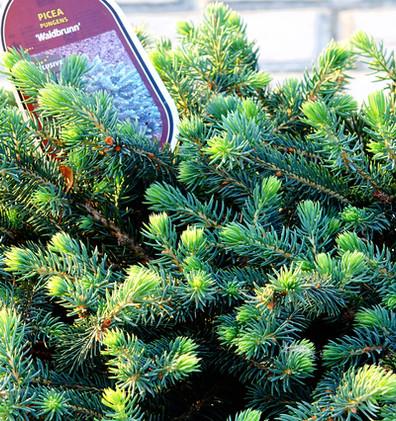 Picea pungens Waldbrunn_2.JPG