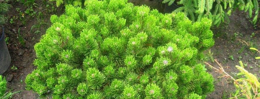 Сосна горная Пикобелло  Pinus mugo Picobello