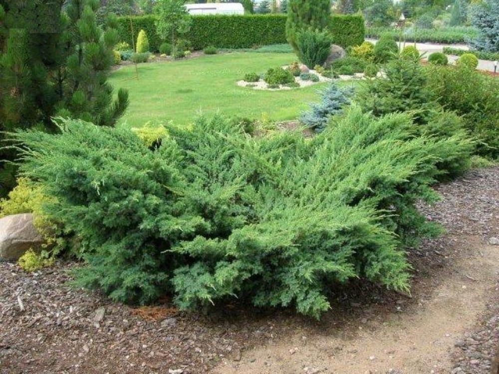 Juniperus squam Blue Swede_3.jpg