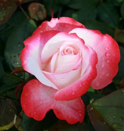 Rosa Nostalgie2.jpg