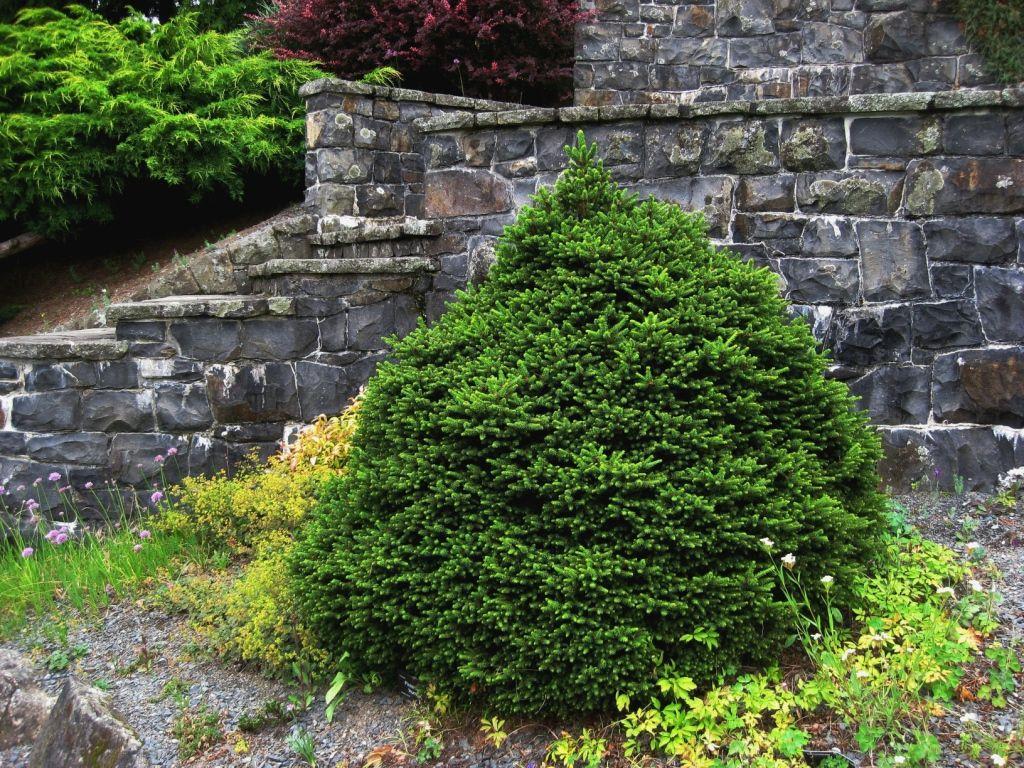 Picea abies Ohlendorffii_3.jpg
