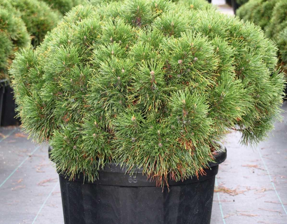 Pinus mugo Varella_1.jpg