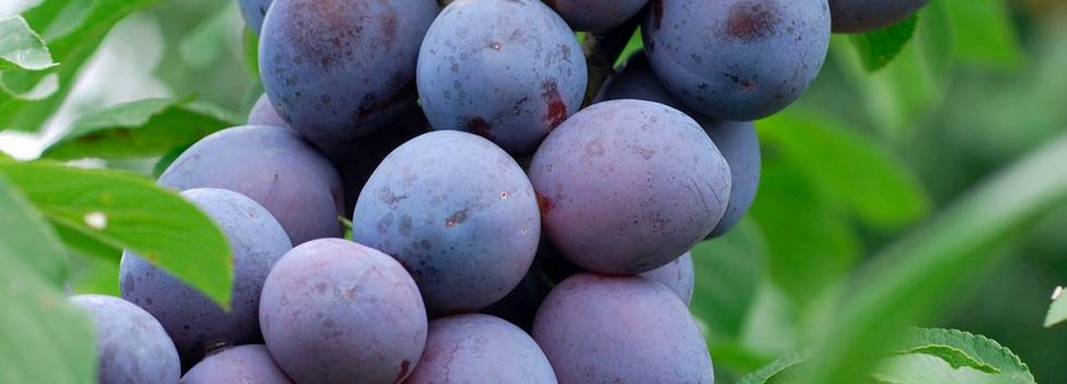 Prunus dom. Hauszwetsche.jpg