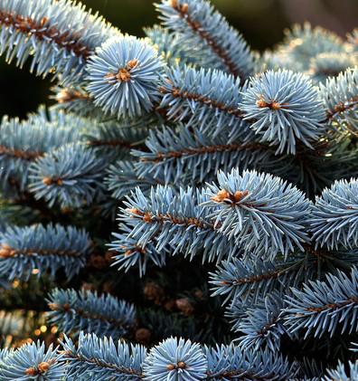 Picea pungens Montgomery_2.JPG