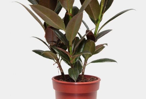 Ficus Melany 3pp