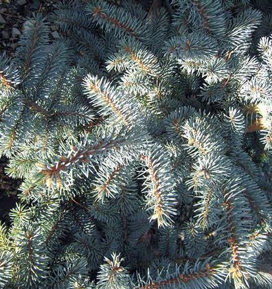 Picea pungens Misty Blue_2.jpg