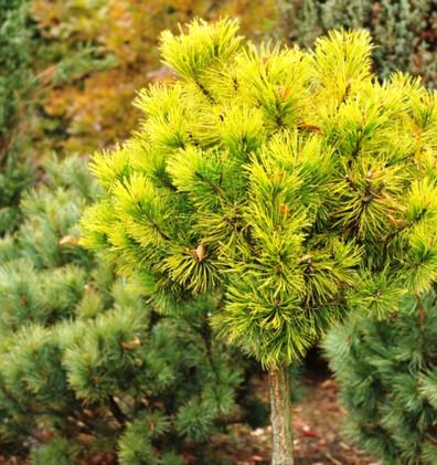 Pinus mugo Golden Glow_1 штамб.jpg