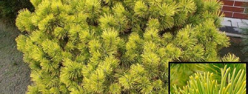 Сосна горная Винтер Голд  (Pinus mugo Winter Gold )