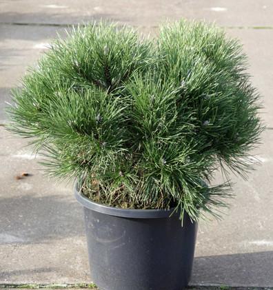 Pinus nigra Nana_1.jpg
