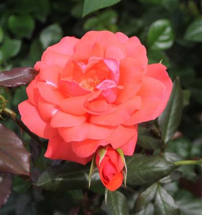 Rosa Piccolo2.jpg
