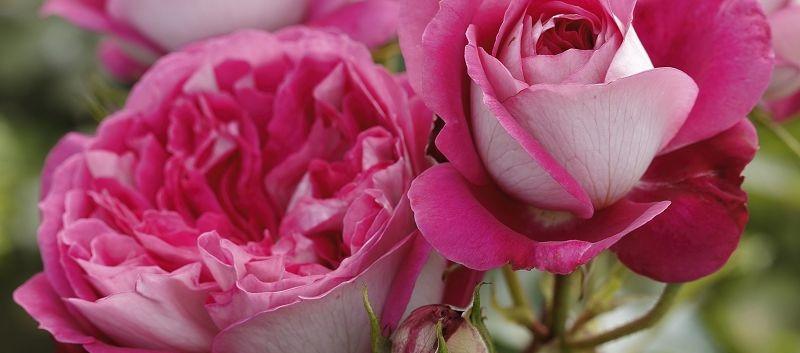 Rosa Maxim2.jpg