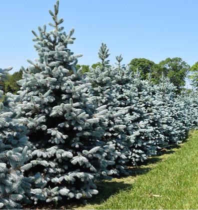 Picea pungens Hoopsii1.jpg