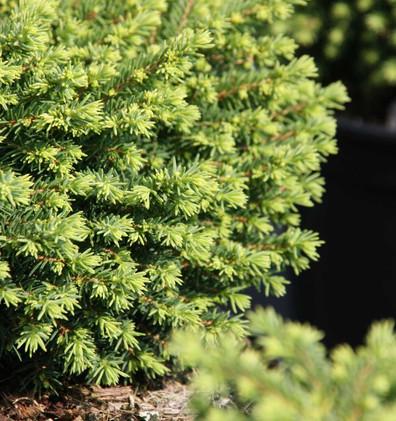 Picea abies Little Gem_2.jpg