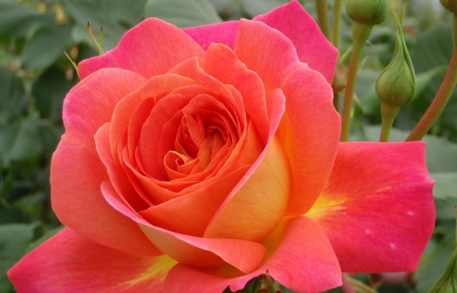 Rosa Midsummer3.jpg