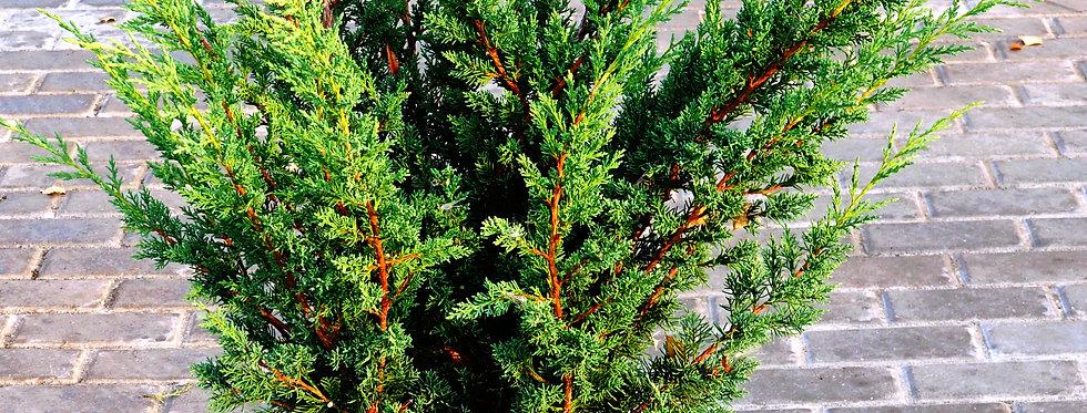 """Можжевельник китайский """"Blaauw""""  (Juniperus chinensis """"Blaauw"""")"""
