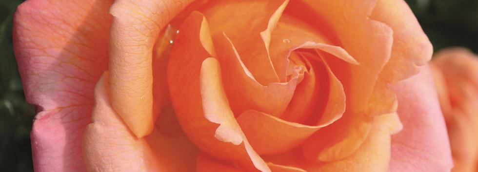 Rosa Cherry Brandy 85_1.jpg
