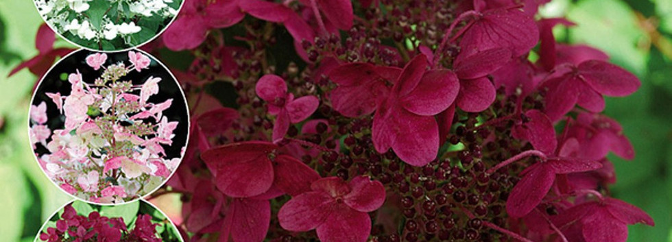 Hydrangea pan. 'Wim's Red'.jpg