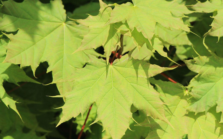 Acer platanoides Globosum_2.jpg