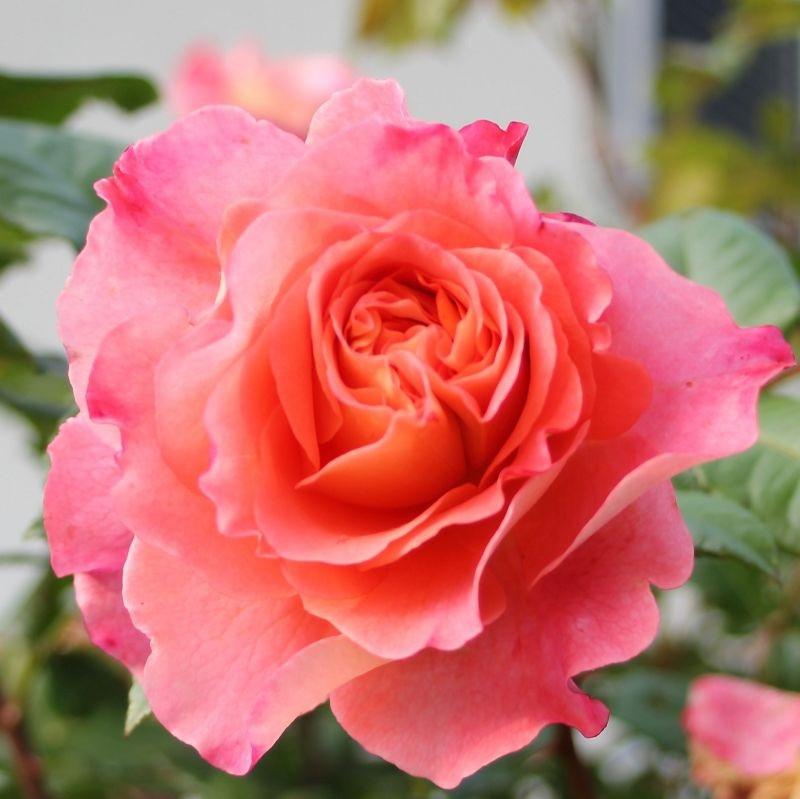 Rosa Augusta Luise3.jpg