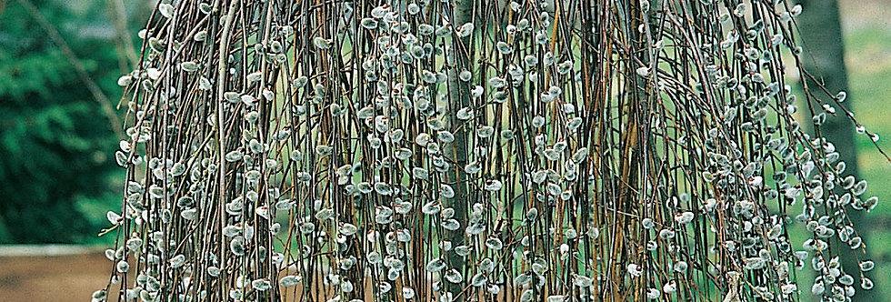 Ива козья Kilmernock (Salix caprea Kilmernock)