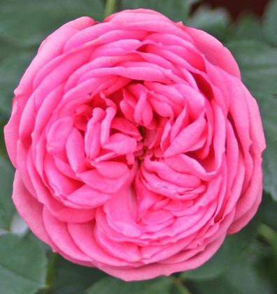Rosa Pink Piano_1.jpg