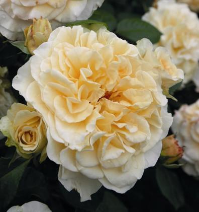 Rosa Comtessa1.jpg