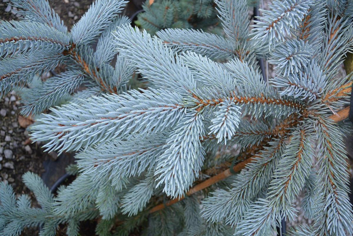 Picea pungens Hoopsii3.jpg