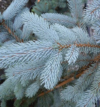 Picea pungens Glauca Super Blue