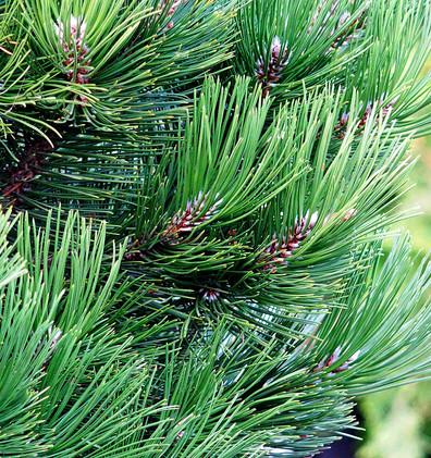 Pinus leucodermis Compact Gem_2.JPG