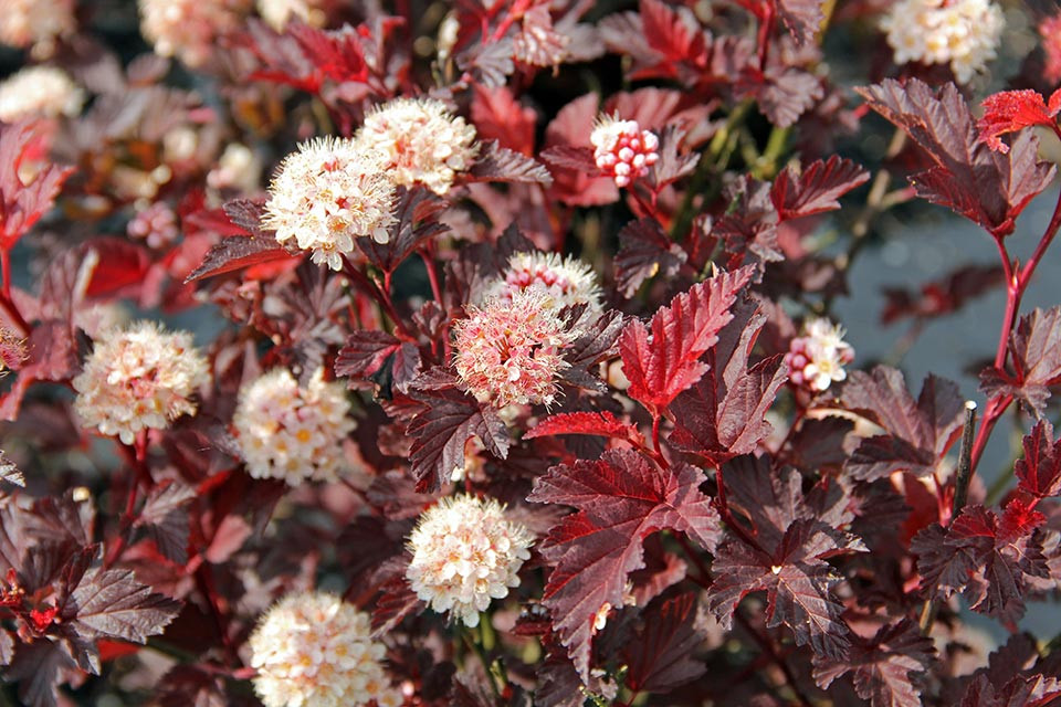 Physocarpus_opulif._Lady_in_Red_®.jpg