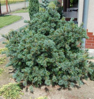 Pinus Parv Negishi_3.jpg