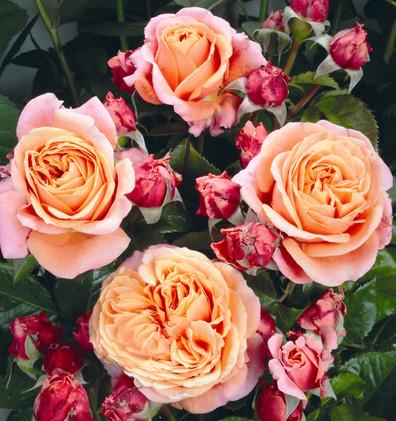 Rosa Mary Ann3.jpg