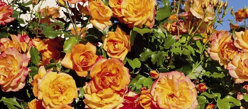 Rosa Sahara3.jpg