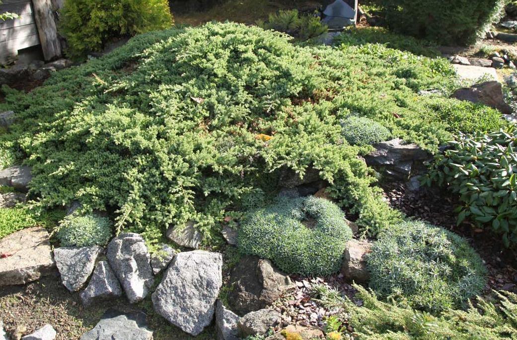 Juniperus procumbens Nana_3.jpg