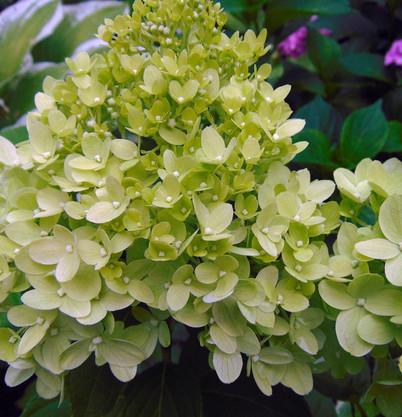 Hydrangea paniculata Little Lime_2.jpg