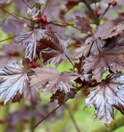 Acer platanoides Royal Red_2.jpg