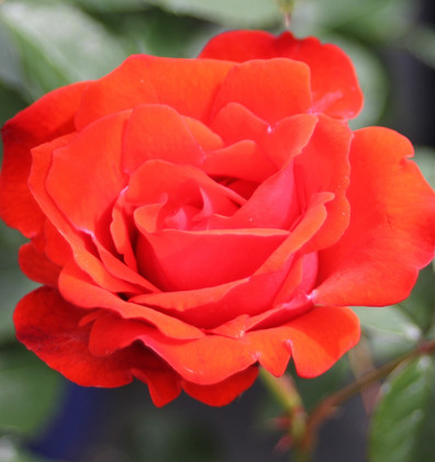 Rosa Olympisches Feuer1.jpg